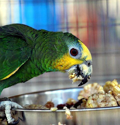 Mangime per pappagalli