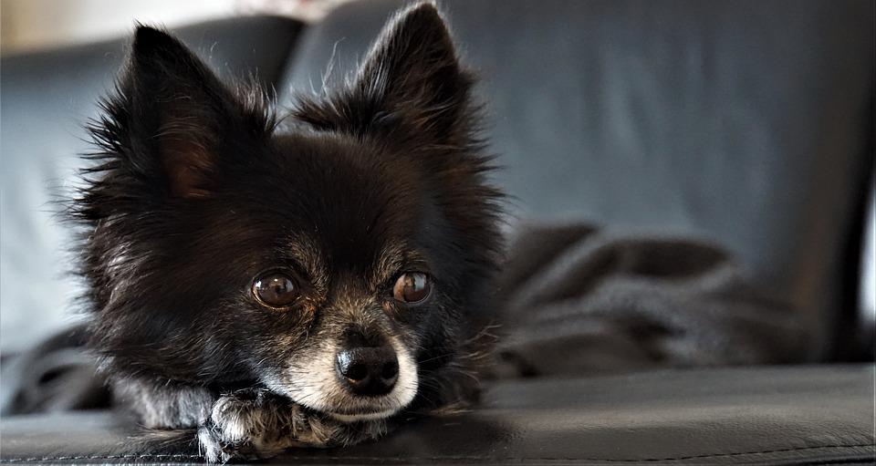 Perché il cane mastica oggetti in casa