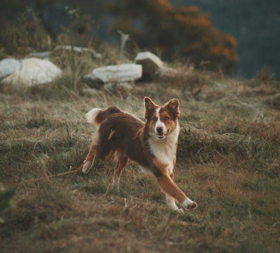 Perché i cani scappano di casa
