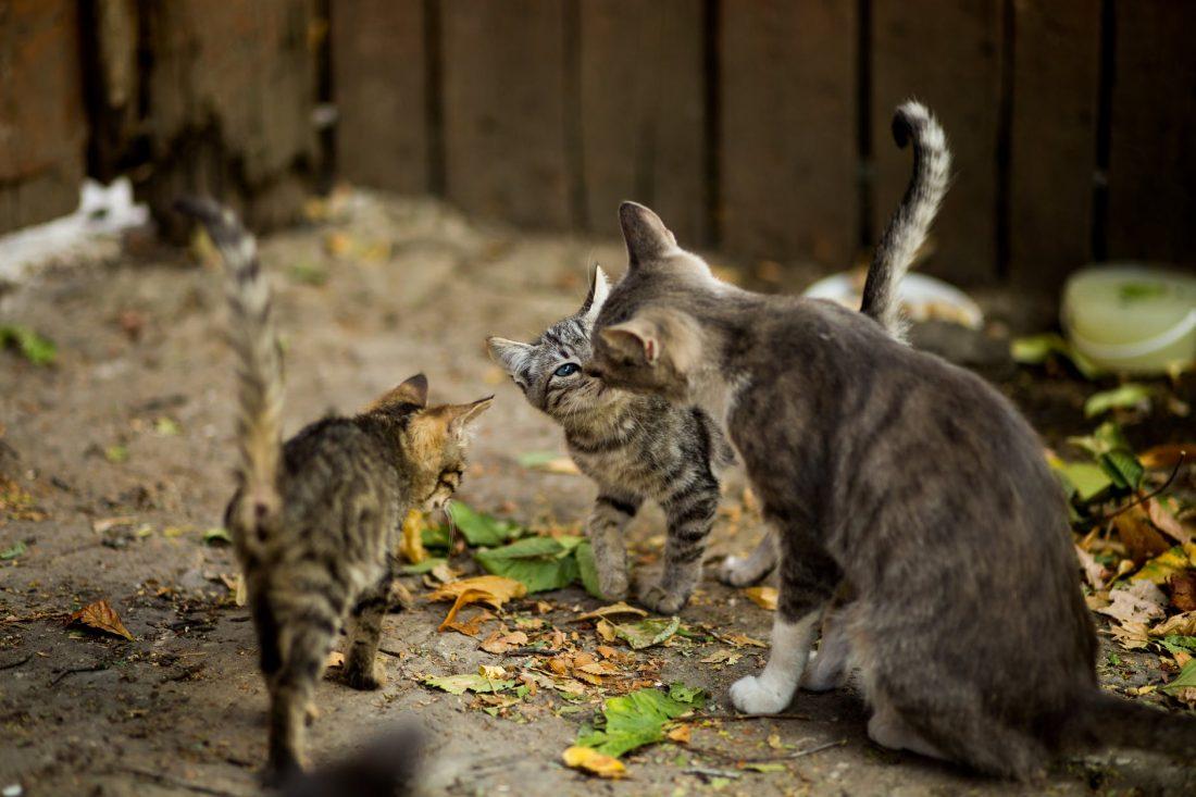 Precauzioni da utilizzare quando adottiamo un gatto randagio