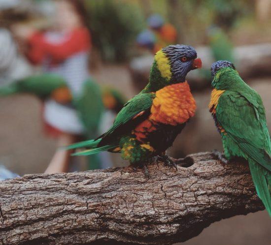 Quali razze di pappagalli vanno in coppia?